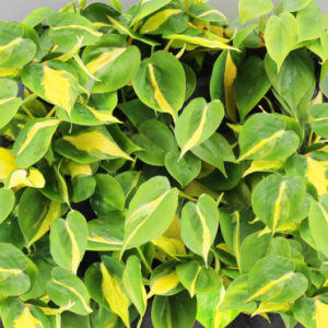 "Philodendron ""Scandens Brasil"""