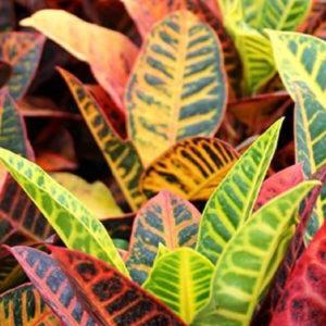 """Croton (codiaeum) """"Petra"""""""