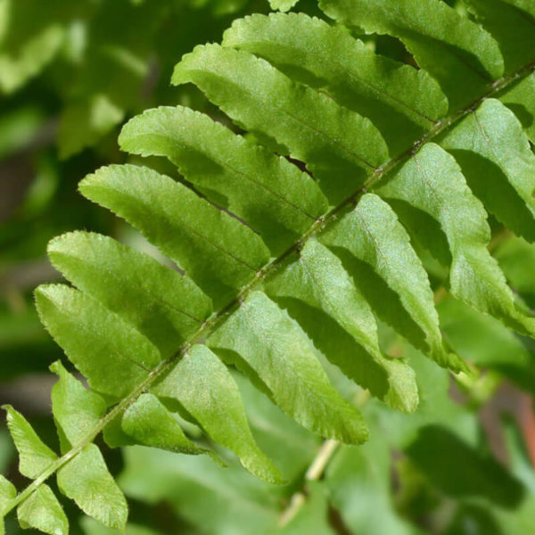 "Nephrolepis exaltata ""Green Lady"""